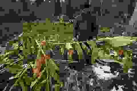 Thảo quả đổ rạp, héo khô sau mưa tuyết lịch sử