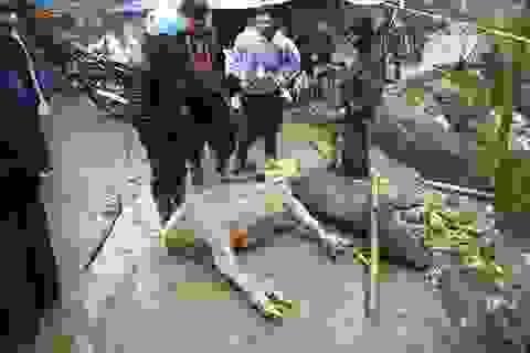 Tuyết dần tan, nhiều trâu bò chết gục vì rét
