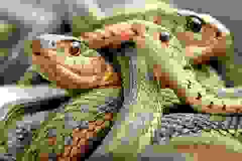 Loài rắn hung hăng nhất khi căng thẳng