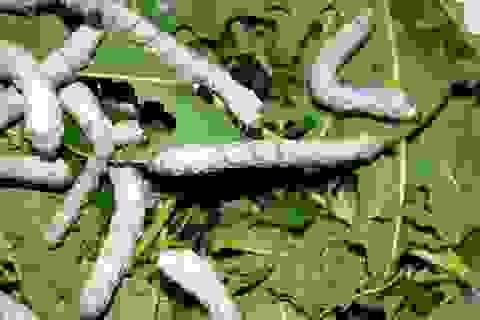Bài thuốc bổ thận tráng dương từ côn trùng