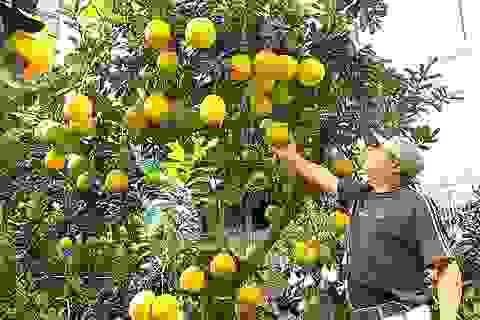 Chiêm ngưỡng những cây bưởi cảnh trăm quả, giá vài chục triệu đồng
