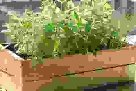 Những cây gia vị nào dễ dàng trồng trên ban công, sân thượng?