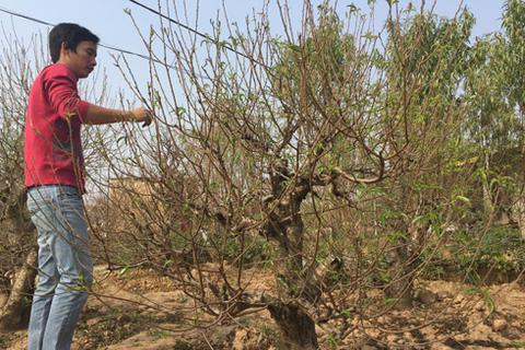 Người trồng đào, quất mòn mỏi ngóng gió đông