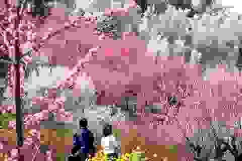 Nhật Bản rực rỡ sắc xuân