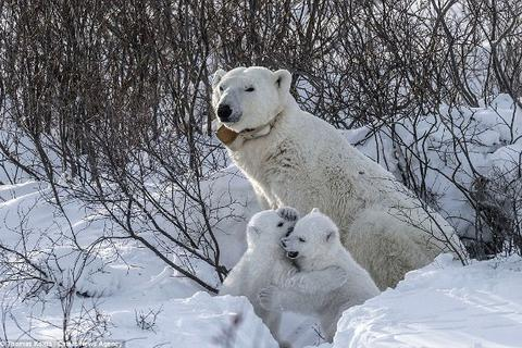 Những bức ảnh tuyệt đẹp về giây phút gia đình gấu bắc cực rời hang