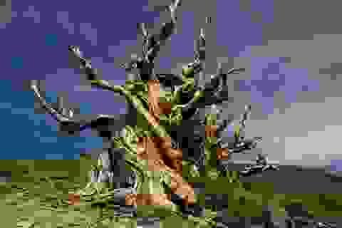 """Top 10 cây cổ thụ """"lão làng"""" nhất thế giới"""