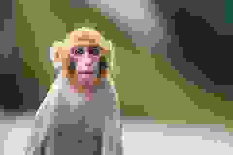 Vì sao loài khỉ không nói giống con người?