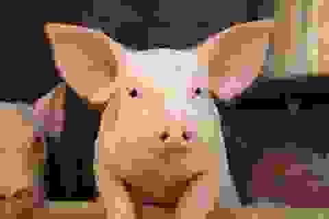 Tiếng ụt ịt của lợn thực sự muốn nói lên điều gì?