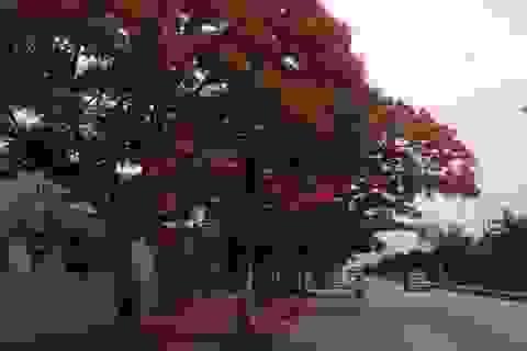 Ngắm vẻ đẹp nao lòng của đường hoa phượng dài nhất Việt Nam