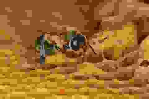 Hai loại thuốc trừ sâu neonicotinoid có thể ảnh hưởng đến ong mật đực
