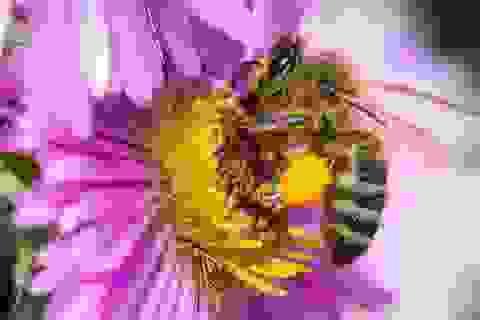 Ô nhiễm khí thải có thể làm cho ong mật khó nhận biết mùi hương của hoa