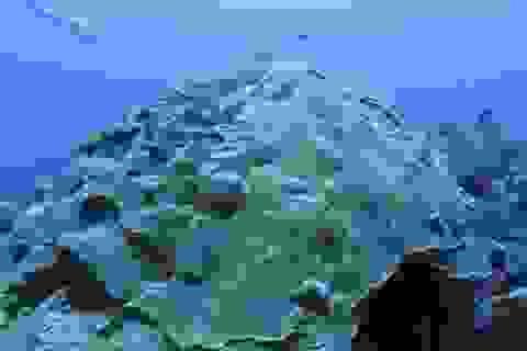 Lý giải khả năng san hô sống sót khỏi thảm họa môi trường