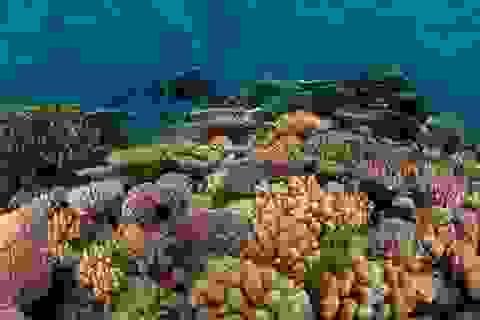 Hàng trăm hécta rạn san hô ở biển Côn Đảo bị tẩy trắng