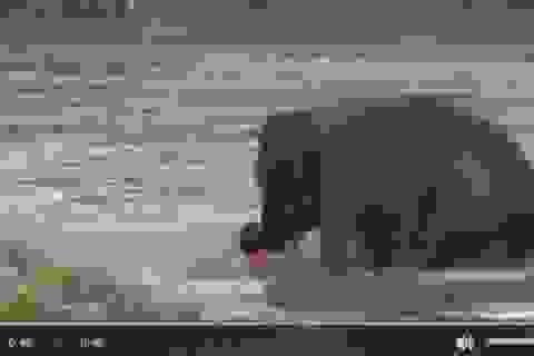 Kỳ diệu khoảnh khắc con voi lao ra sông để cứu huấn luyện viên