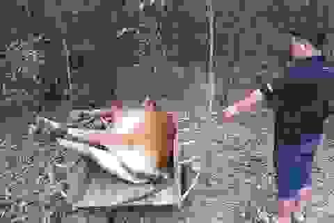 Hy hữu 2 gia đình tranh chấp 1 con bò chết, chính quyền bất lực mang đi tiêu hủy