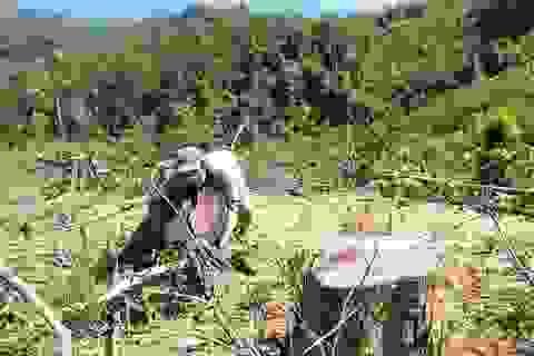 """""""Cạo trọc"""" hàng trăm ha rừng tự nhiên để trồng keo?"""
