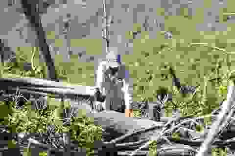 """Xác định đối tượng thuê dân """"cạo trọc"""" rừng để trồng keo"""