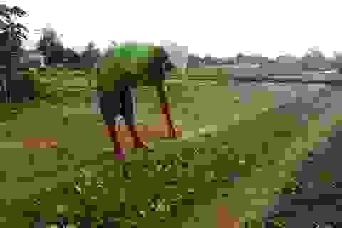 Vùng rau trứ danh đất Quảng tan hoang sau lũ