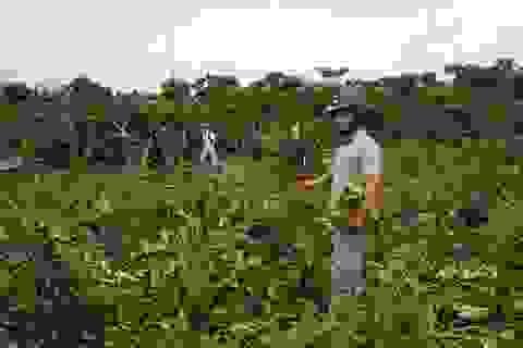 Vườn cà phê chuẩn bị thu hoạch bị chặt phá không thương tiếc