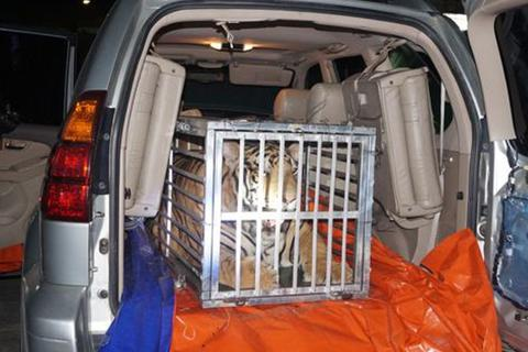 "Con hổ 3 tạ ""du lịch"" trên xe Lexus"
