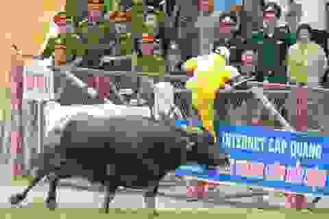 Trâu tham gia chung kết Lễ hội chọi trâu Đồ Sơn 2017 phải thử chất kích thích