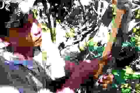 Quảng Nam vào mùa thu hoạch vỏ quế