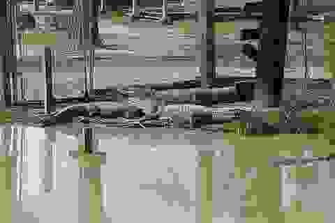 Mỹ: Mối lo 350 cá sấu sổng chuồng vì bão Harvey