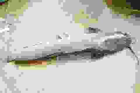 Bắt được cá trê dài gần 1 mét