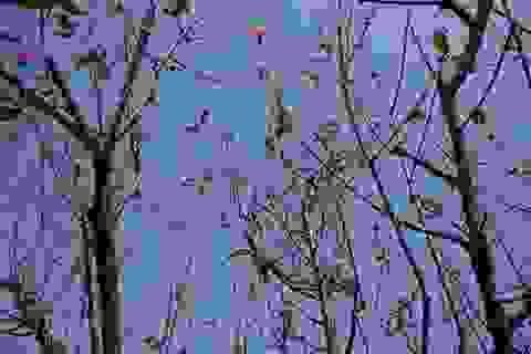 Hoa đào Tết Nhật Tân nở sớm