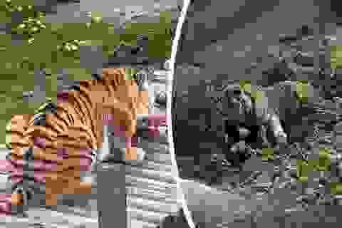 Du khách kinh hoàng chứng kiến hổ tấn công nhân viên vườn thú
