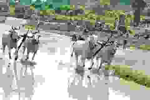 Về An Giang xem lễ hội đua bò