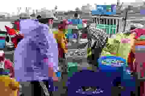 Ngư dân Lý Sơn rầu rĩ, dù bội thu cá nục suông