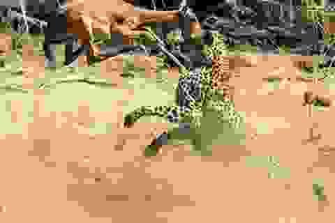 """""""Vũ điệu hoang dã"""" khi linh dương vùng vẫy tìm sự sống trước báo săn"""