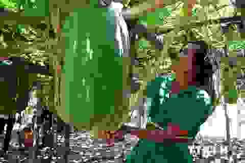 Làng trồng bí đao nặng hơn 50kg mỗi trái ở Bình Định