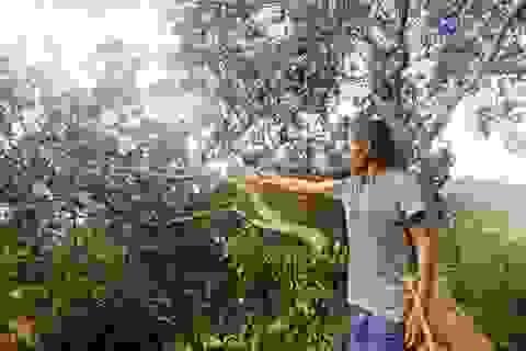 Bọ xít muỗi tấn công, hàng chục ngàn ha điều mất trắng