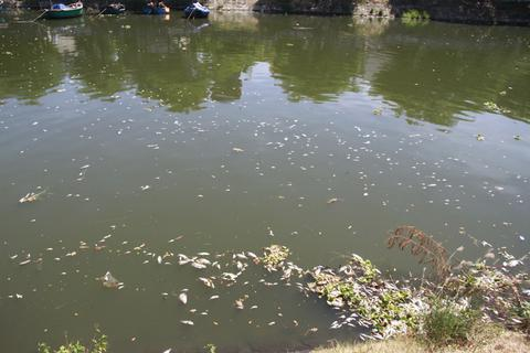 Cá chết nổi trắng sông Phú Lộc