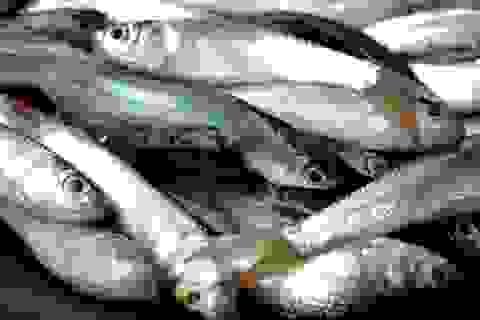 Kiếm tiền triệu mỗi ngày từ săn cá linh mùa lũ