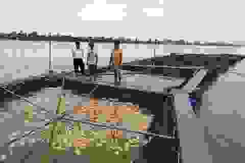 Gần 80 tấn cá lồng sắp thu hoạch chết trắng trên sông Hồng