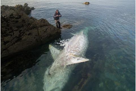 Xác cá mập khổng lồ dài gần 8m trôi dạt bờ biển nước Anh