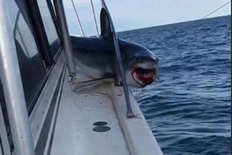 """Rùng mình khoảnh khắc cá mập cỡ lớn """"ghé thăm"""" rồi bất ngờ mắc kẹt trên thuyền câu"""