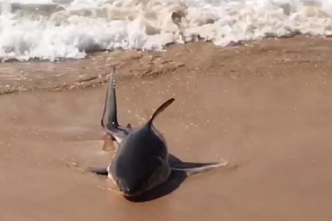 Cá mập trắng con bị trôi giạt vào bãi biển Sydney