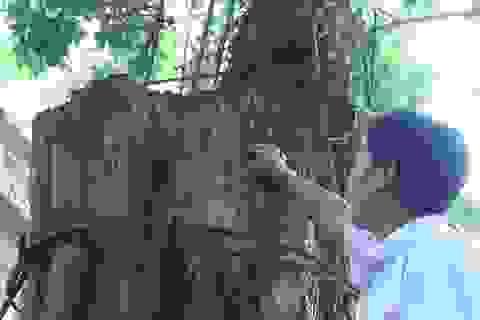 Cây sưa 200 tuổi đang chết khô ở Hà Nội sắp được bán đấu giá