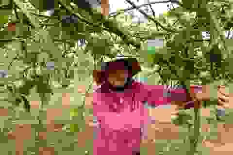 Nông sản đồng loạt rớt giá, nông dân bỏ mặc không thu hoạch