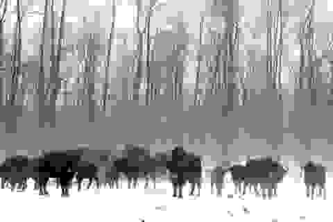 Các loài động vật hoang dã đang phát triển mạnh mẽ sau 30 năm thảm họa nhân Chernobyl