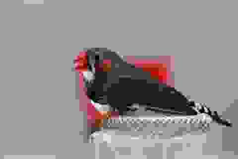 Phát hiện chim cư trú cũng sử dụng la bàn từ tính