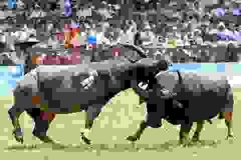 Tổ chức động vật Châu Á đề nghị chấm dứt Lễ hội chọi trâu Đồ Sơn
