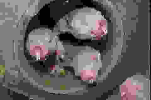 Phát hiện bất ngờ về loài chuột chũi không lông