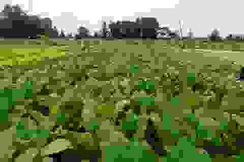 Những vườn rau xanh mướt trên vùng đất lũ