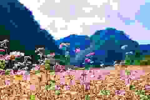 Tháng 10, đừng lỡ hẹn với mùa hoa tam giác mạch