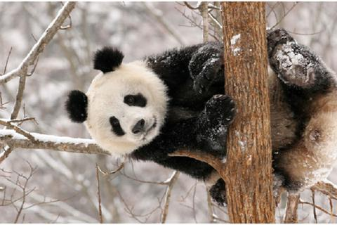 Tại sao gấu trúc có màu đen và trắng?